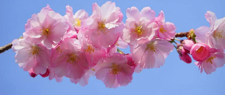 Cherry blossom dating site apps